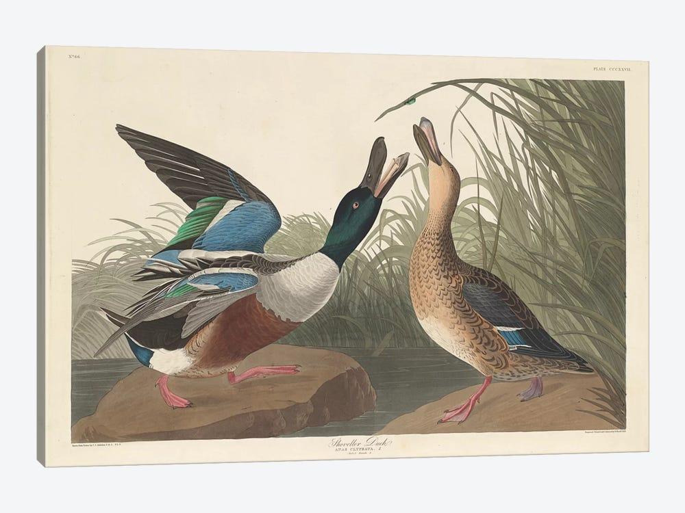 Shoveller Duck by John James Audubon 1-piece Canvas Art