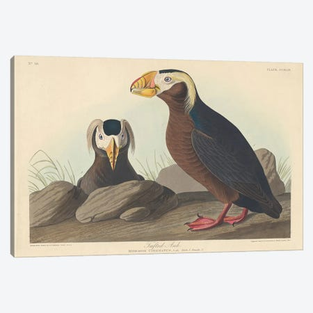 Tufted Auk Canvas Print #BMN6747} by John James Audubon Canvas Print