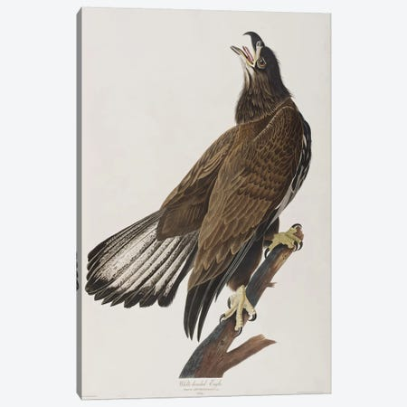 White-Headed Eagle Canvas Print #BMN6749} by John James Audubon Canvas Artwork