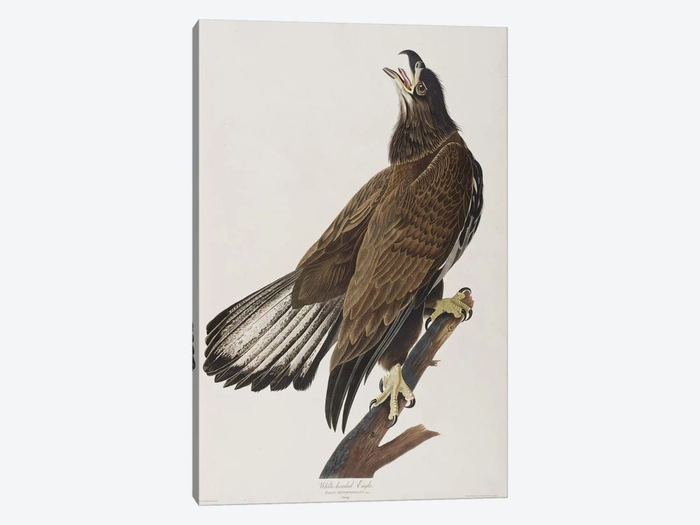 White-Headed Eagle by John James Audubon 1-piece Art Print