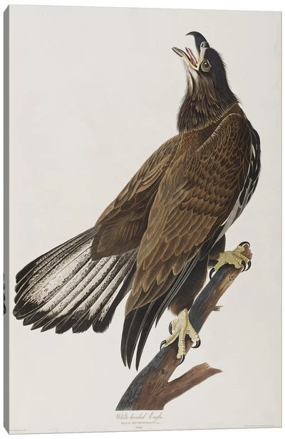 White-Headed Eagle Canvas Art Print