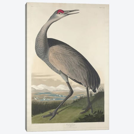 Whooping Crane Canvas Print #BMN6750} by John James Audubon Art Print