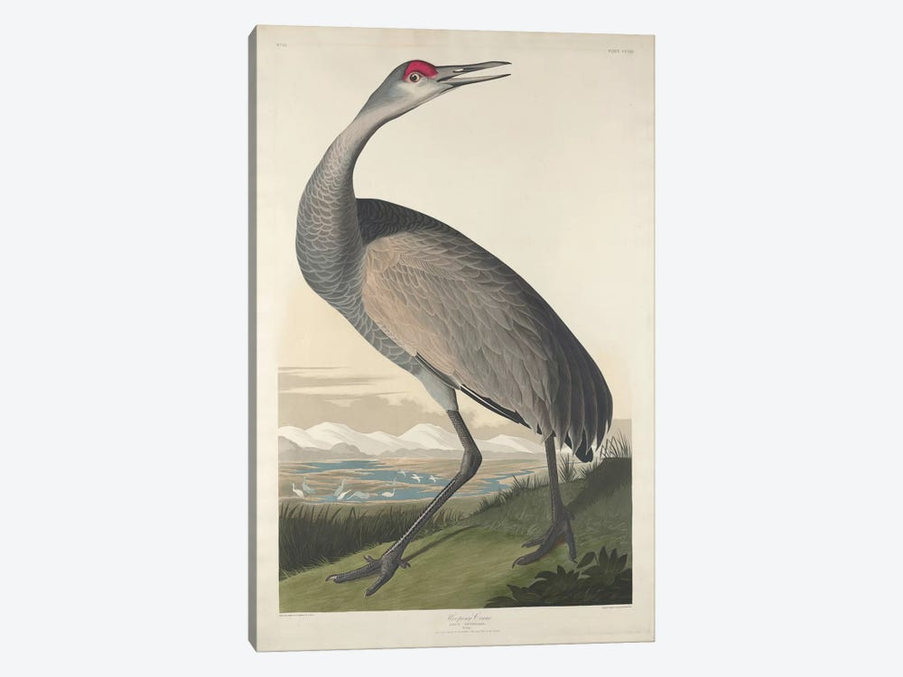 Whooping Crane 1-piece Canvas Art Print