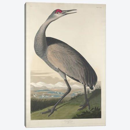 Whooping Crane Canvas Print #BMN6750} by John James Audubon Art Print