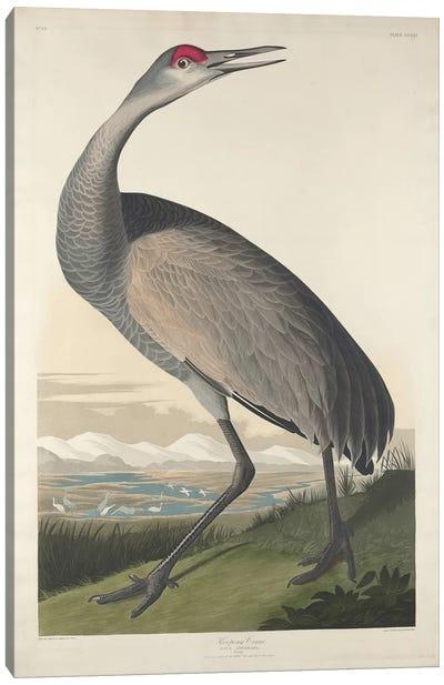Whooping Crane Canvas Art Print