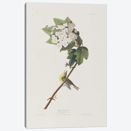 Yellow-Throated Vireo & Oakleaf Hydrangea Canvas Print #BMN6751} by John James Audubon Canvas Art Print