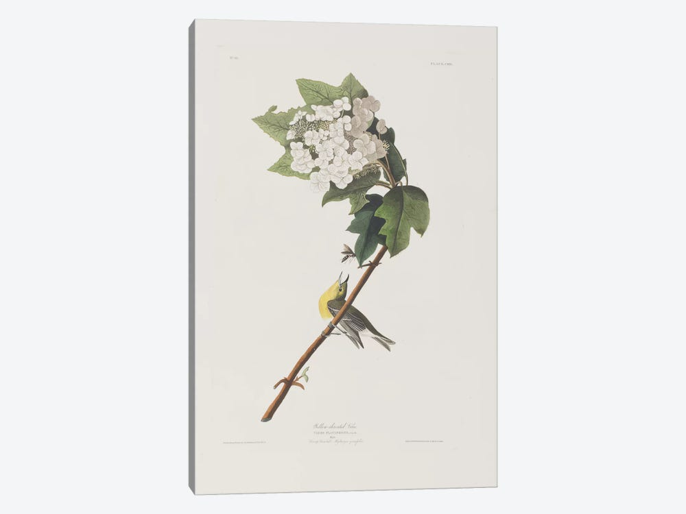 Yellow-Throated Vireo & Oakleaf Hydrangea by John James Audubon 1-piece Canvas Wall Art