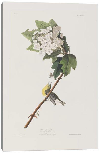 Yellow-Throated Vireo & Oakleaf Hydrangea Canvas Art Print