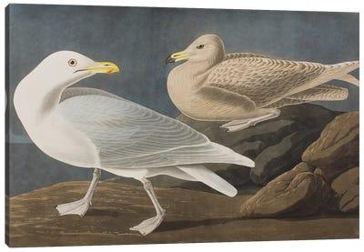 Glaucous Gull (Burgomaster) (Audubon Commission)  Canvas Print #BMN6752