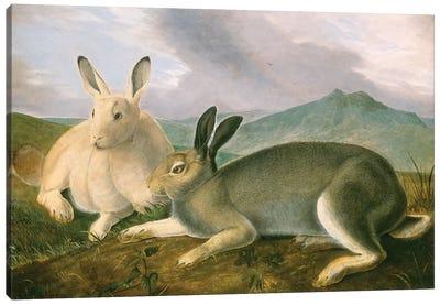 Arctic Hare (Audubon Commission) Canvas Print #BMN6940