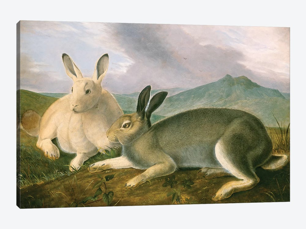 Arctic Hare (Audubon Commission) by Joseph Bartholomew Kidd 1-piece Art Print