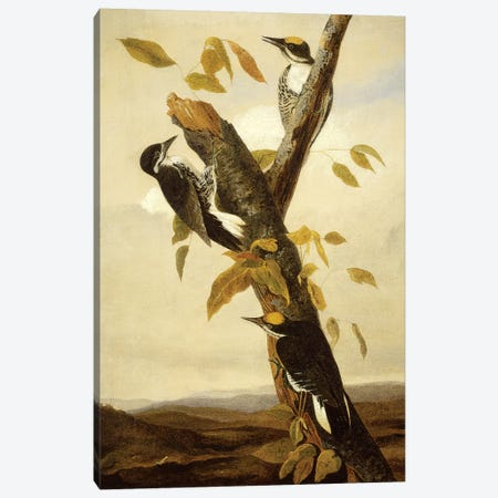 Black-Backed Three-Toed Woodpecker (Audubon Commission) Canvas Print #BMN6942} by Joseph Bartholomew Kidd Canvas Artwork