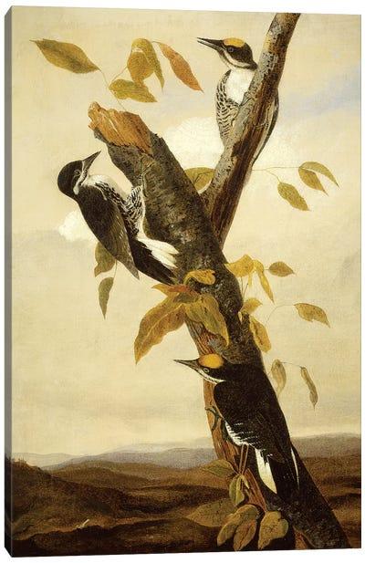 Black-Backed Three-Toed Woodpecker (Audubon Commission) Canvas Print #BMN6942