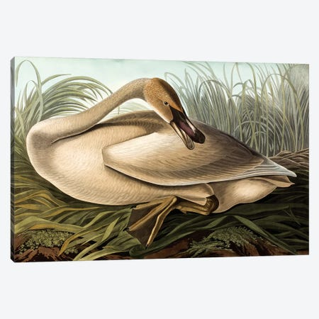 Trumpeter Swan (Audubon Commission) Canvas Print #BMN6943} by Joseph Bartholomew Kidd Canvas Art