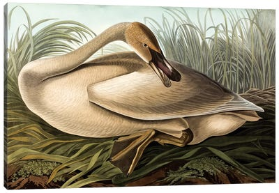 Trumpeter Swan (Audubon Commission) Canvas Art Print