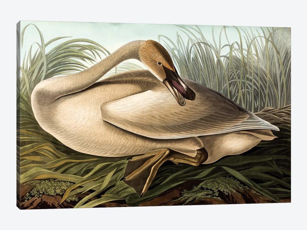 Trumpeter Swan (Audubon Commission) by Joseph Bartholomew Kidd 1-piece Canvas Artwork