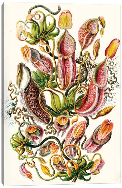 A Collection Of Nepenthaceae (Illustration From Kunstformen der Natur), 1899 Canvas Art Print