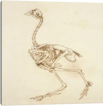 Dorking Hen Skeleton, Lateral View, 1795-1806 Canvas Art Print