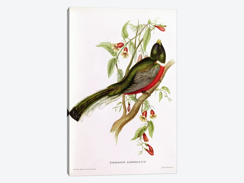 Trogon Ambiguus from 'Tropical Birds', 19th century by John Gould 1-piece Art Print