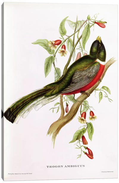 Trogon Ambiguus from 'Tropical Birds', 19th century  Canvas Art Print