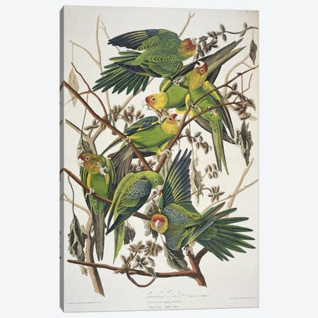 Carolina Parrot & Cuckle Burr Canvas Print #BMN7130} by John James Audubon Canvas Wall Art