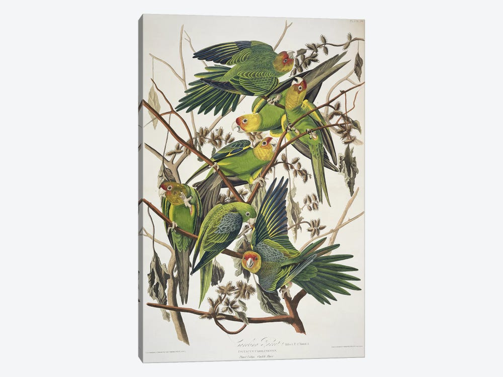 Carolina Parrot & Cuckle Burr by John James Audubon 1-piece Canvas Print