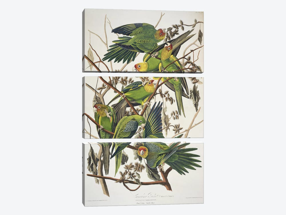 Carolina Parrot & Cuckle Burr by John James Audubon 3-piece Canvas Print