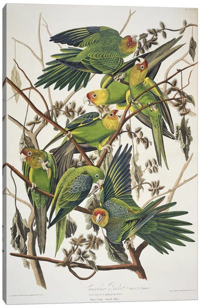 Carolina Parrot & Cuckle Burr Canvas Art Print