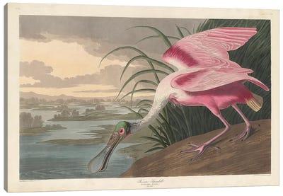 Roseate Spoonbill, 1836 Canvas Art Print