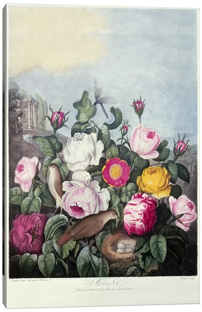 Roses, engraved by Earlom, from 'The Temple of Flora', by Robert Thornton, pub. 1805  Canvas Art Print