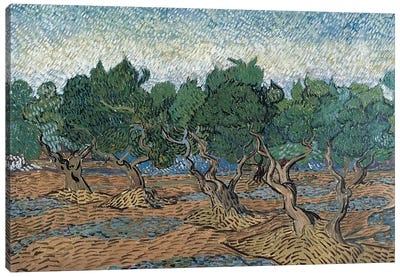 Olive Grove, 1889 Canvas Art Print