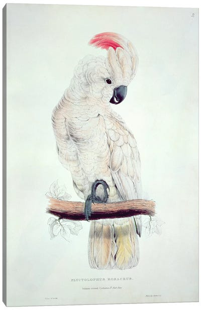 Salmon-Crested Cockatoo  Canvas Art Print