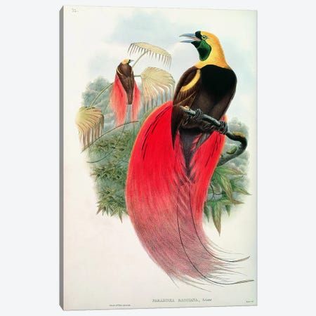 Bird of Paradise, engraved by T. Walter  Canvas Print #BMN752} by John Gould Canvas Art