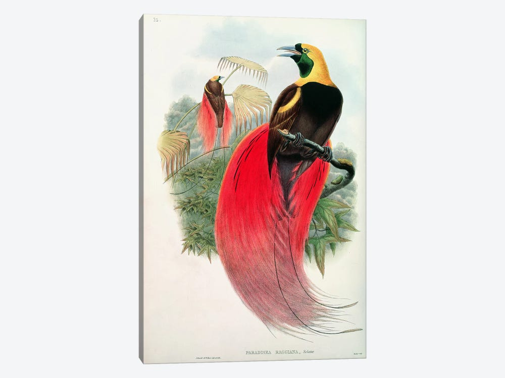 Bird of Paradise, engraved by T. Walter 1-piece Canvas Print