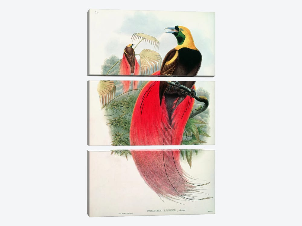 Bird of Paradise, engraved by T. Walter 3-piece Art Print