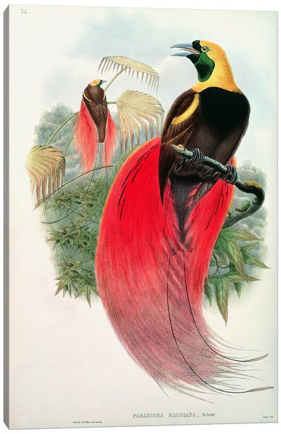 Bird of Paradise, engraved by T. Walter  Canvas Art Print