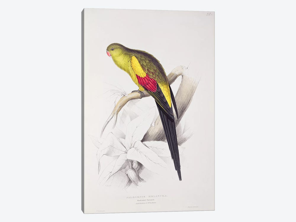 Black-Tailed Parakeet  by Edward Lear 1-piece Canvas Artwork