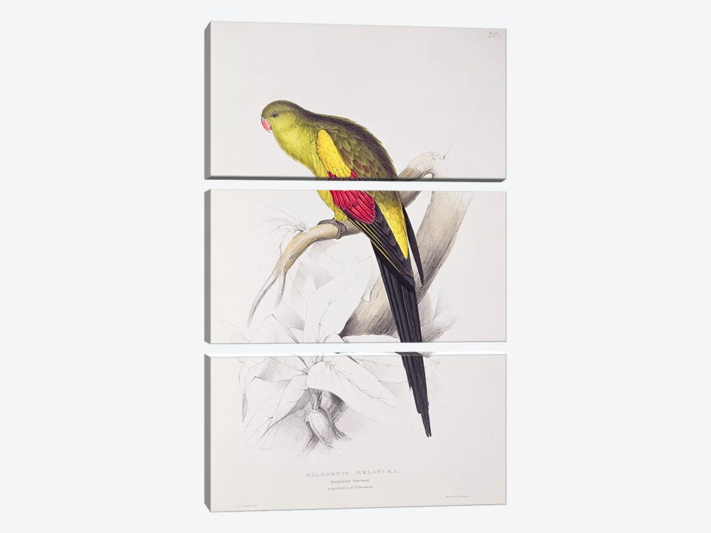 Black-Tailed Parakeet  by Edward Lear 3-piece Canvas Art