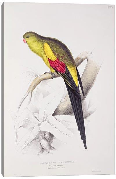 Black-Tailed Parakeet  Canvas Art Print