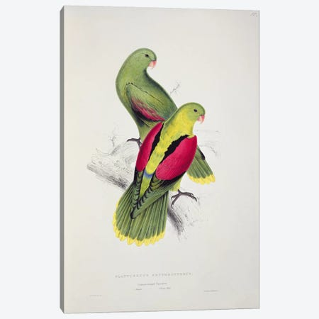 Crimson-Winged Parakeet  Canvas Print #BMN754} by Edward Lear Canvas Art Print