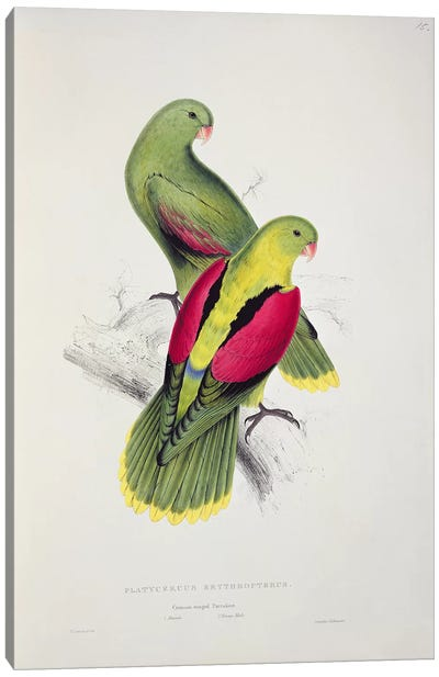 Crimson-Winged Parakeet  Canvas Art Print