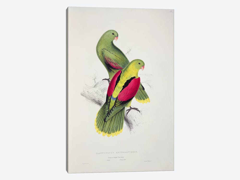 Crimson-Winged Parakeet by Edward Lear 1-piece Art Print
