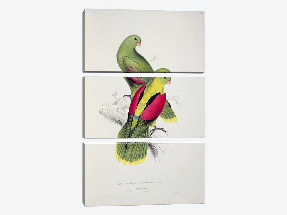 Crimson-Winged Parakeet by Edward Lear 3-piece Canvas Art Print