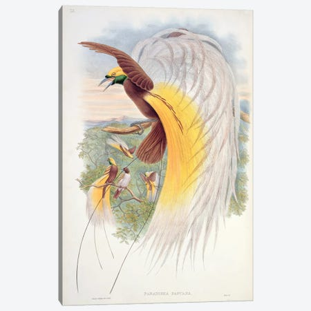 Bird of Paradise, from 'Birds of New Guinea'  Canvas Print #BMN755} by John Gould Canvas Art Print