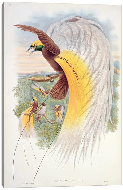 Bird of Paradise, from 'Birds of New Guinea'  Canvas Art Print