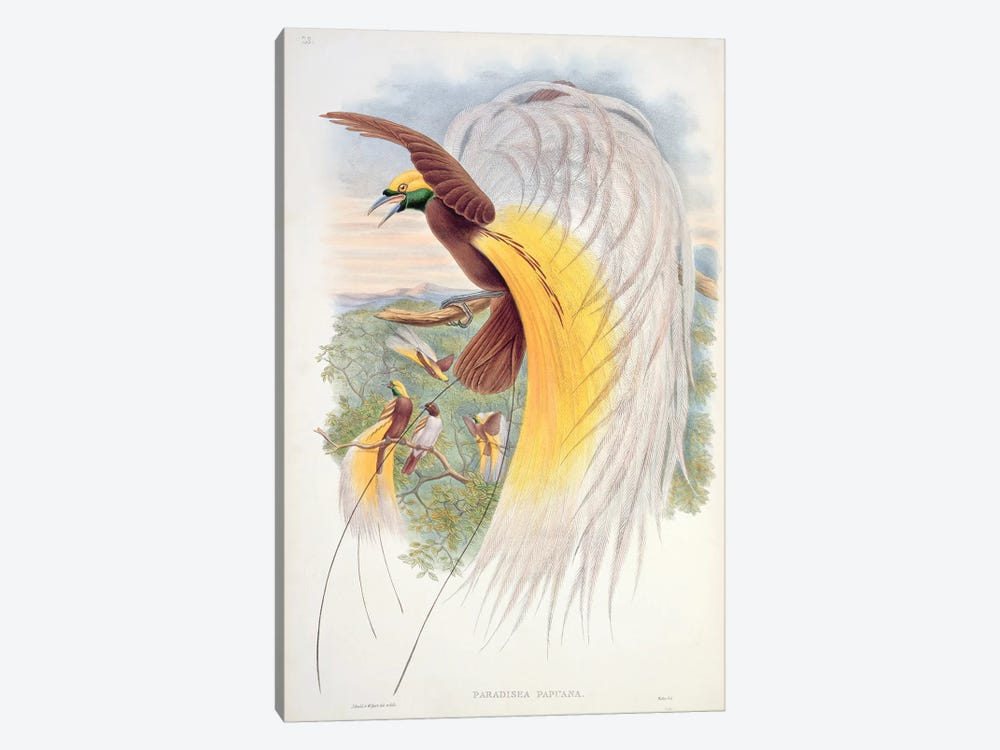 Bird of Paradise, from 'Birds of New Guinea' by John Gould 1-piece Canvas Wall Art