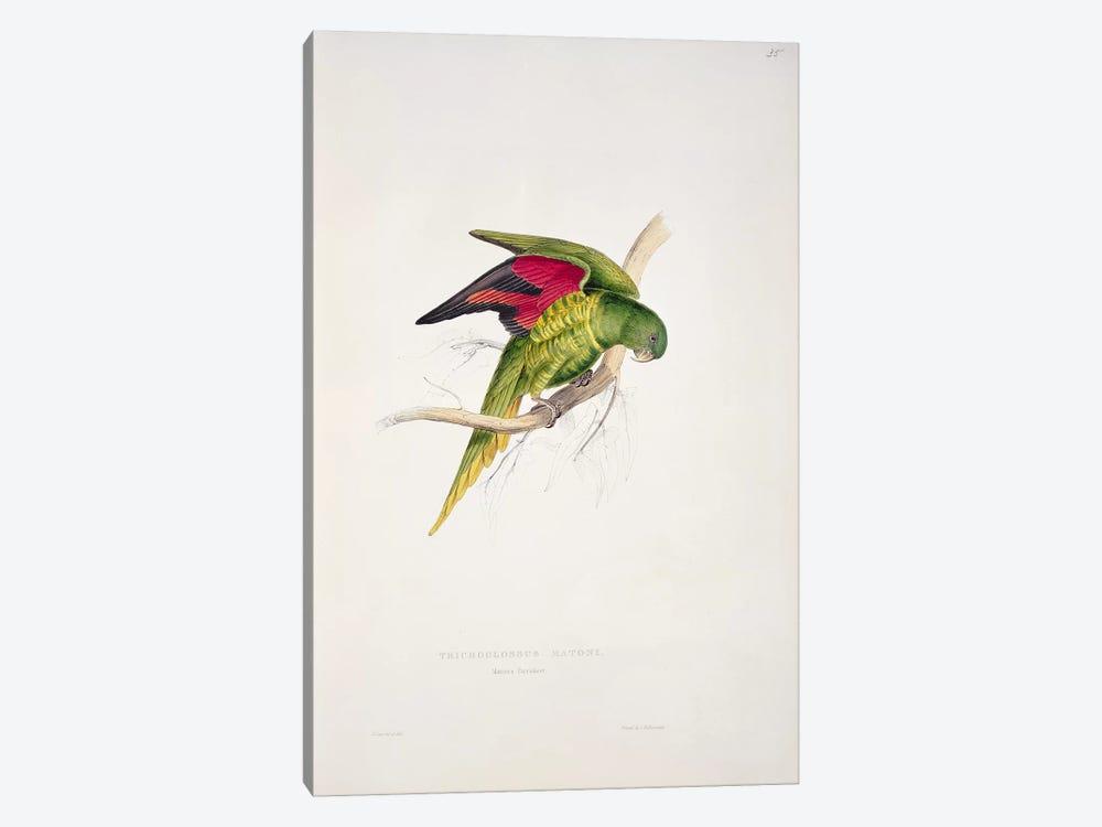 Maton's Parakeet  by Edward Lear 1-piece Art Print