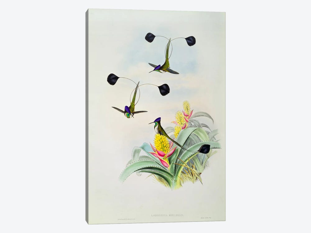 Hummingbird, engraved by Walter and Cohn by John Gould 1-piece Canvas Art Print
