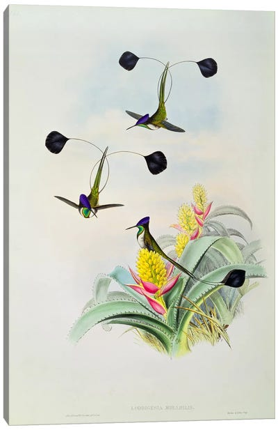 Hummingbird, engraved by Walter and Cohn  Canvas Art Print