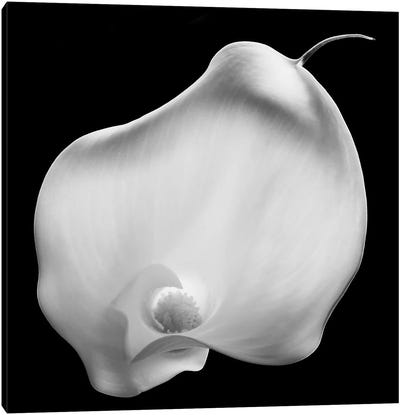 Lily Of Secrets, 2008  Canvas Art Print